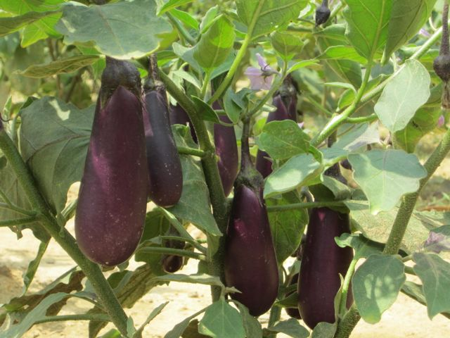 eggplant production in the philippines pdf