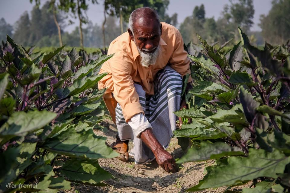 Farmer Afzal Hossain, of Bangladesh's Rangpur district, is on his third year of successfully cultivating pesticide-free Bt brinjal